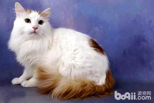 会游泳的猫——土耳其梵猫-猫咪品种