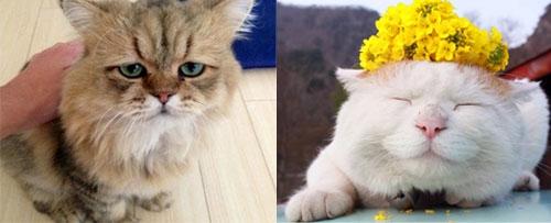 日本人的爱猫情结-成猫饲养